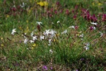 Dianthus arenarius ssp. arenarius